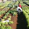 Hortas comunitárias «pegam de estaca» na Quinta da Cruz