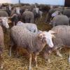 Criadores de Gado querem mais pastos para ovelhas bordaleiras no Dão