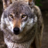«O Lobo Ibérico» em Moimenta da Beira em mostra única